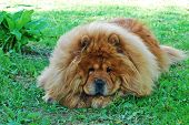 Brown Chow Chow Dog In The Green Grass poster