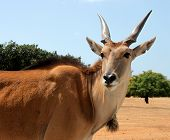 stock photo of eland  - close up of an eland antelope (Taurotragus oryx)