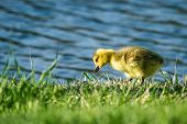 pic of baby goose  - cute baby gosling feeding on spring green grass with the lake in the background
