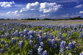 stock photo of bluebonnets  - Beautiful blue bluebonnet wildflowers in a pasture in central Texas in April - JPG