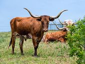 stock photo of longhorn  - Texas longhorn cattle grazing on green pasture - JPG