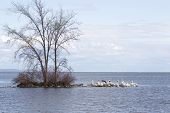 image of winnebago  - Pelicans cover the rocks on a Peninsula with one lone tree - JPG