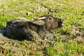 picture of mud-hut  - Buffalo in the mud at rural north Thailand - JPG
