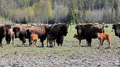 pic of female buffalo  - Herd of American Bison  - JPG
