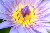 picture of corbel  - purple macro Petals of lotus in the garden - JPG