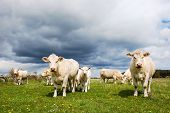 stock photo of herd  - Charolais cattle herd at a green field in springtime - JPG