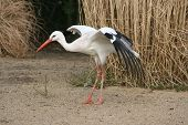 picture of stork  - Stork side with spread wings with reeds in the background - JPG
