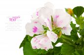 picture of geranium  - Royal Pelargonium - JPG