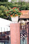 picture of lantana  - Colorful of Lantana Flowers in white jardiniere - JPG