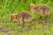 image of baby goose  - Canada Goose Goslings sitting in the grass.
