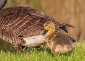 picture of baby goose  - Canada Goose Goslings sitting in the grass - JPG