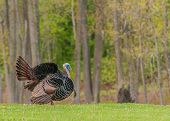 stock photo of gobbler  - Strutting male wild turkey displaying in the spring mating season - JPG