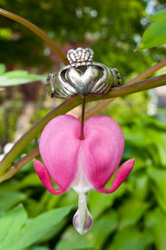 foto of claddagh  - A Claddagh ring and a Bleeding Heart in the Garden.