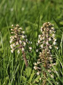 pic of butterbur  - Common Butterbur flowers - Petasites hybridus Female plant - JPG