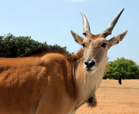 pic of eland  - close up of an eland antelope (Taurotragus oryx) ** Note: Soft Focus at 100%, best at smaller sizes - JPG