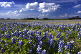 foto of bluebonnets  - Beautiful blue bluebonnet wildflowers in a pasture in central Texas in April - JPG