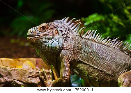 Big iguana lizard in terrarium - animal background
