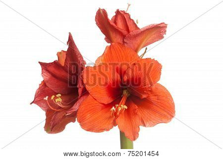 Red Amaryllis Flower, Multiple Blossoms, Isolated On White