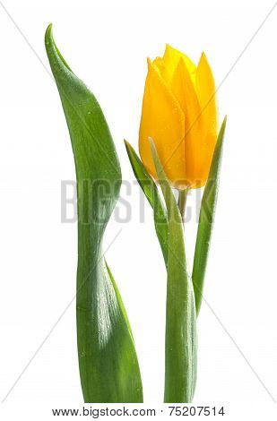 Yellow Tulip With Water Drops