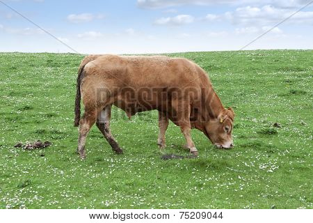 Lone Bull Feeding On The Green Grass
