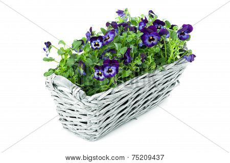 Sweet Pansies In Plait Basket