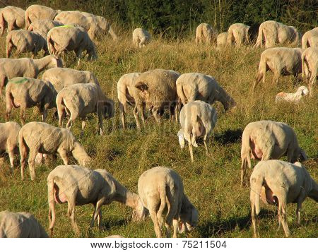 Giant Flock Of Sheep And Goats Grazing In The Mountains