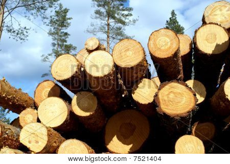 Pine Timber In Forest