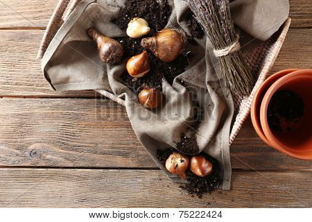 Flower bulbs, pot and soil on sackcloth napkin and pots on wooden background