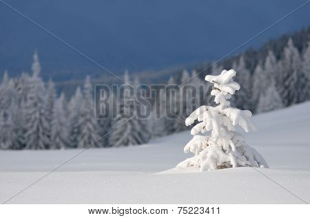 Snow-covered Christmas tree. Winter in forest