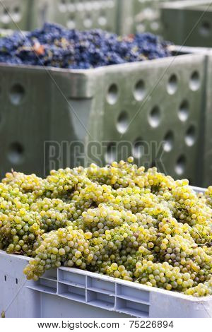 wine harvest, Southern Moravia, Czech Republic