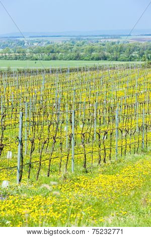 spring vineyard, Southern Moravia, Czech Republic