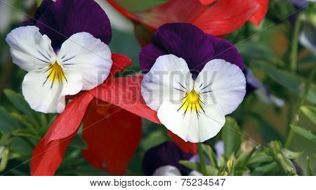 Close up of two white and purple pansies