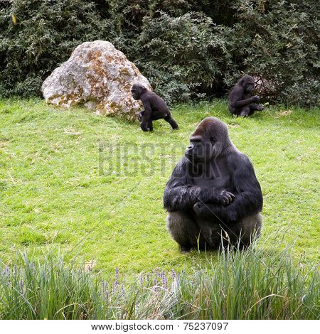 Gorilla sitting in the grass, caring the childs