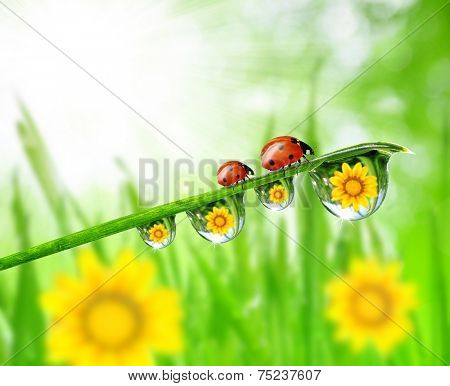 Fresh green grass with dew drops and ladybugs closeup. Nature Background