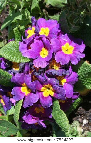 Stock Image Of Primrose