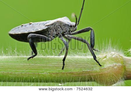 big black stink bug in the parks