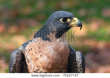 Peregrine Falcon Profile