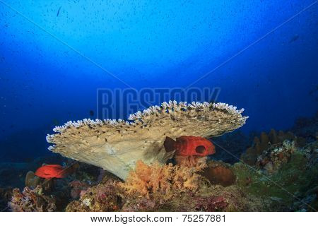 Table Coral and grouper fish underwater in Similans, Thailand