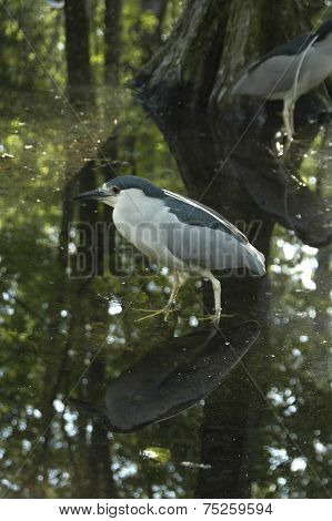 Heron Black-Crowned Night (N. nycticorax)