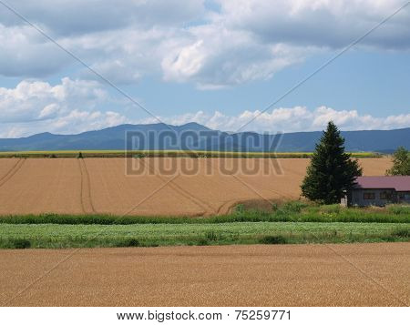 wheat fields at Biei, Japan
