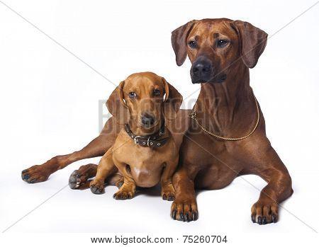 Rhodesian Ridgeback and dachshund