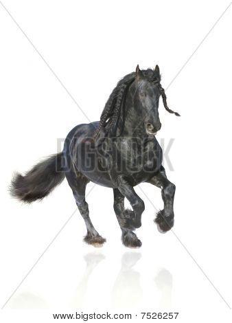 Frisian Stallion Isolated