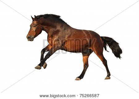 Brown Horse Galloping Isolated On White