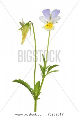 small forest viola isolated on white background