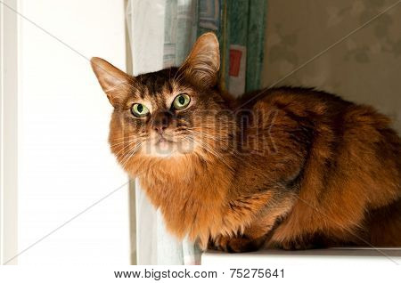 Pretty Somali Cat