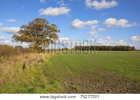 Autumn Oak Tree And Fields