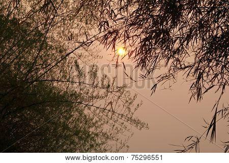 Sunrise Behind Bamboo Tree