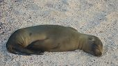 stock photo of sea lion  - The Gal�pagos sea lion is a species of sea lion that exclusively breeds on the Gal�pagos Islands. Being fairly social, they are often spotted sun-bathing on sandy shores or rock groups or gliding gracefully through the surf.