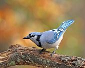 picture of blue jay  - A blue jay  - JPG