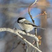 picture of chickadee  - fluffy chickadee sitting on a branch close - JPG